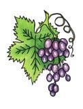 Manojo de uvas maduras en un fondo blanco foto de archivo libre de regalías