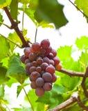 Manojo de uvas maduras listas para ser desplumado Imagen de archivo