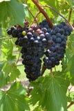 Manojo de uvas negras Foto de archivo