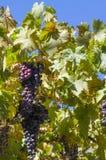 Manojo de uvas negras que cuelgan con las ramas, las hojas y la parte posterior del cielo azul Foto de archivo