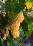 Manojo de uvas de oro que cuelgan en la acción de la vid en la yarda del vino, plantación Fotografía de archivo