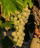 Manojo de uvas de oro que cuelgan en la acción de la vid en la yarda del vino, plantación Imagenes de archivo