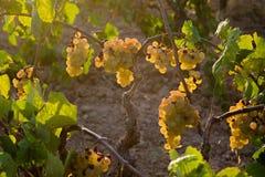 Manojo de uvas de oro que cuelgan en la acción de la vid en la yarda del vino, plantación Fotos de archivo libres de regalías