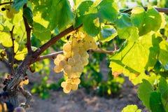 Manojo de uvas de oro que cuelgan en la acción de la vid en la yarda del vino, plantación Foto de archivo