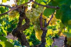 Manojo de uvas de oro que cuelgan en la acción de la vid en la yarda del vino, plantación Imagen de archivo libre de regalías