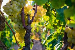 Manojo de uvas de oro que cuelgan en la acción de la vid en la yarda del vino, plantación Fotografía de archivo libre de regalías