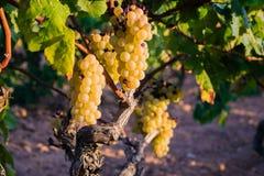 Manojo de uvas de oro que cuelgan en la acción de la vid en la yarda del vino, plantación Fotos de archivo