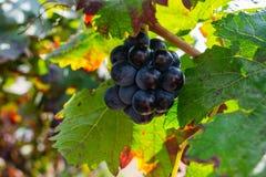 Manojo de uvas púrpuras que cuelgan en la acción de la vid en la yarda del vino, España Imagen de archivo