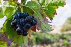 Manojo de uvas púrpuras que cuelgan en la acción de la vid en la yarda del vino, España Imagenes de archivo