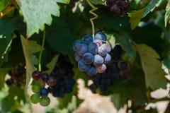 Manojo de uvas púrpuras que cuelgan en la acción de la vid en la yarda del vino, España Foto de archivo libre de regalías