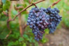 Manojo de uvas rojas Foto de archivo libre de regalías