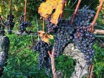 Manojo de uvas rojas, Lavaux, Suiza fotografía de archivo