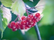 Manojo de viburnum maduro Foto de archivo
