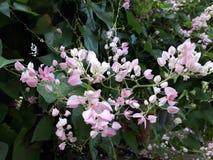 Manojo de vid confederada rosada, vid coralina, vid coralina mexicana, enredadera mexicana Fotografía de archivo