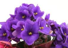 Manojo de violetas frescas en blanco Imágenes de archivo libres de regalías