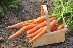Manojo de zanahorias Foto de archivo
