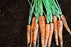 Manojo de zanahorias cosechadas frescas foto de archivo