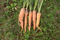 Manojo de zanahorias orgánicas frescas que mienten en la hierba Fotografía de archivo