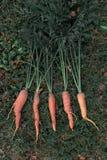 Manojo de zanahorias orgánicas frescas que mienten en la hierba Imagenes de archivo