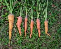 Manojo de zanahorias orgánicas frescas que mienten en la hierba Imagen de archivo libre de regalías
