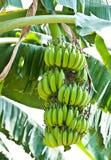 Manojo del plátano en árbol en el jardín Fotografía de archivo libre de regalías