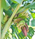 Manojo del plátano en árbol en el jardín Fotografía de archivo