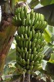 Manojo del plátano en Tenerife Imagenes de archivo