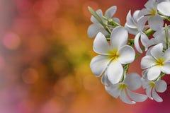 Manojo del plumeria de la flor blanca en fondo del rosa del bokeh Fotos de archivo