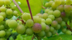 Manojo grande de primer de las uvas imagen de archivo
