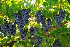 Manojo grande de uvas de vino rojo Fotos de archivo libres de regalías