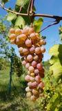 Manojo grande de verde blanco redondo y de primer maduro rosado purpúreo claro de las uvas fotos de archivo libres de regalías