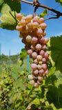 Manojo grande de verde blanco redondo y de uvas maduras púrpuras fotos de archivo