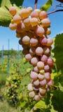 Manojo grande de verde blanco redondo y de uvas maduras purpúreas claras fotografía de archivo