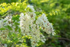 Manojo hermoso de flores blancas en fondo verde Flor falsa del ?rbol del acacia imágenes de archivo libres de regalías