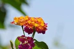 Manojo hermoso de la flor del Lantana en sombra azul fotografía de archivo libre de regalías
