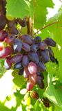 Manojo inmaduro de primer jugoso púrpura grande de las uvas imágenes de archivo libres de regalías