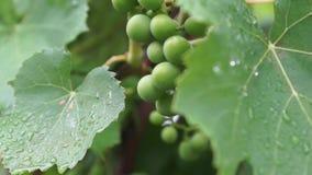 Manojo inmaduro de uvas verdes después de la lluvia