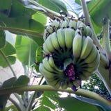 Manojo inmaduro verde de plátanos vistos de parte inferior Imágenes de archivo libres de regalías