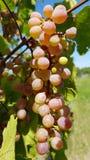Manojo maduro de primer rosado purpúreo claro redondo de las uvas imagen de archivo libre de regalías
