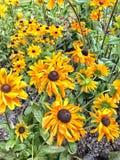 Manojo observado negro de la flor de Susan foto de archivo libre de regalías