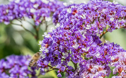 Manojo púrpura de la flor fotos de archivo