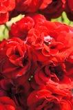 Manojo rojo de las rosas Imagen de archivo libre de regalías