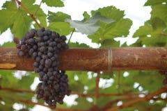 Manojo rojo de las uvas solo en la madera Imágenes de archivo libres de regalías