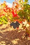 Manojo rojo de uvas y de hojas de otoño coloridas imágenes de archivo libres de regalías