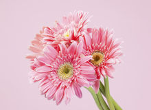 Manojo rosado del gerbera en fondo rosado Fotografía de archivo libre de regalías