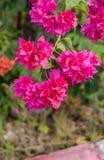 Manojo rosado hermoso de la buganvilla Fotografía de archivo libre de regalías