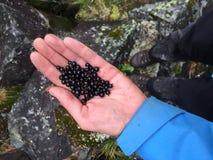 Manojo turístico de la tenencia de la mano de foto de las bayas Cosecha de la grosella negra por la mano turística Mano del pri fotografía de archivo
