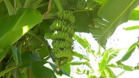 Manojo verde cada vez mayor de plátanos en la plantación almacen de video