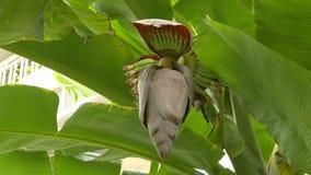 Manojo verde cada vez mayor de plátanos en la plantación almacen de metraje de vídeo