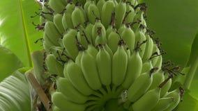 Manojo verde cada vez mayor de plátanos en la plantación metrajes